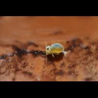 Sminthurides-aquaticus-1web.jpg (Artengalerie)