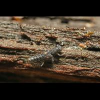 3 Kurzflügler Käfer  Stenus cf bimaculatus Schönbrunn .jpg (Artengalerie)