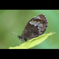 mohren-90708.jpg (Artengalerie)