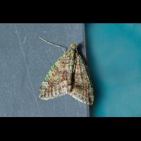 08341-Chloroclysta-siterata Olivgrüner Bindenspanner web.jpg (Artengalerie)