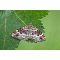 08252 Xanthorhoe-spadicearia- Heller Rostfarben-Blattspanner.jpg (Artengalerie)