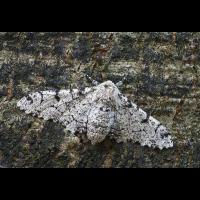 biston-betularia2_1200.jpg (Artengalerie)