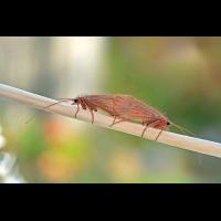 Chaetopteryx villosa (Limnephilidae) Köcherfliegen 02web.jpg (Artengalerie)