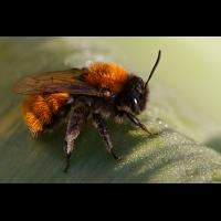 Andrena_fulva.jpg (Artengalerie)