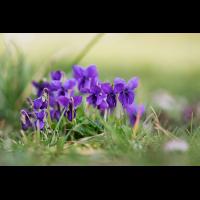 Viola odorata-1.jpg (Artengalerie)