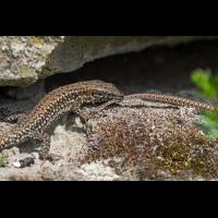 Mauereidechse-Paarung-1.jpg (Artengalerie)