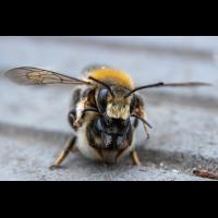 Wildbienen-Paarung_2021-06-03- Makroforum.jpg (Artengalerie)