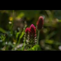 Purpur-Klee-().jpg (Makronix)