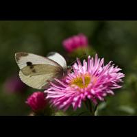Schmetterling_IMG_2924 copy.jpg (Jürgen Richterich)