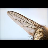 Fliege.jpg (Peter56)