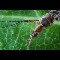 Tipulidae – Schnaken 27.jpg (Sasscha)