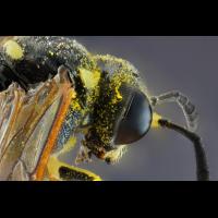 Symmorphus bifasciatus 91.jpg (Sasscha)