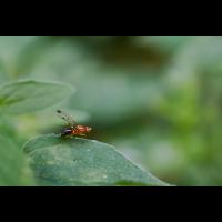 Geomyza hackmani.jpg (Il-as)