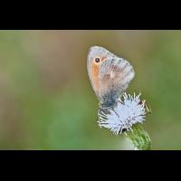 Kleines Wiesenvögelchen.jpg (Il-as)