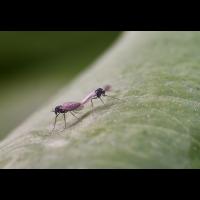Mückenhochzeit.jpg (Il-as)