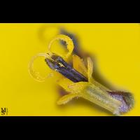 yellow.jpg (MakroMax)