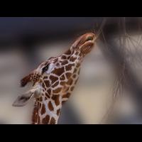 Giraffe.jpg (Wienerin)